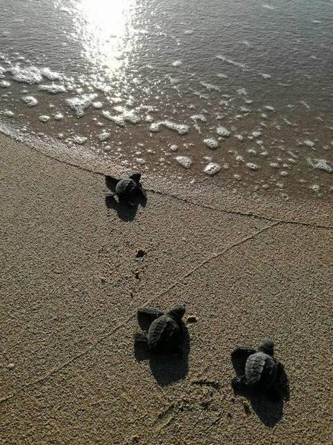 Caretta caretta a gallipoli il viaggio dei piccoli verso for Mobilia piccoli francavilla al mare